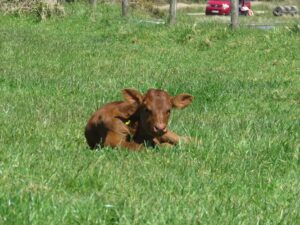 Young Calf on Bodmin Moor