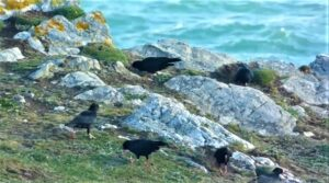 Group of Choughs feeding at Newquay Headland by Ian Boreham