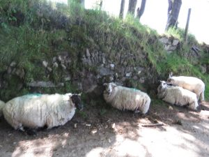 Farm Stone Hedge Bodmin Moor (sheep sheltering from the sun)